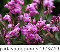 Gingianam flowers 52923749