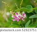 Pheasant flower 52923751