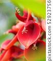 ดอกไม้อเมริกันของ Deigo 52923756