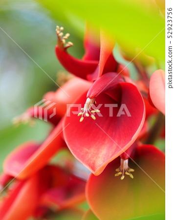 아메리카 데이고의 꽃 52923756