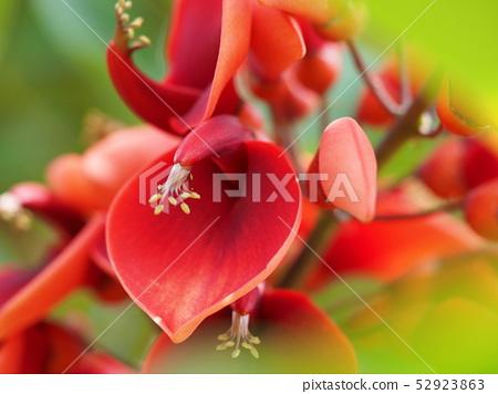 아메리카 데이고의 꽃 52923863