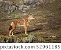 Close up of endangered Ethiopian wolf 52961185