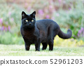 Close up of a black cat on the grass in the garden 52961203