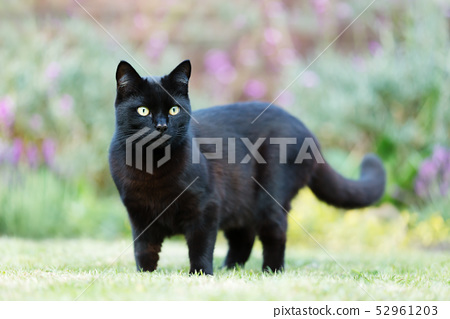 close up of a black cat on the grass in the garden  stock