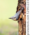 Eurasian nuthatch perched on a tree trunk 52961223