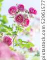 Rose rose garden rose garden 52961577