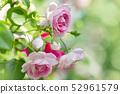 Rose rose garden rose garden 52961579