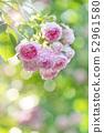 Rose rose garden rose garden 52961580