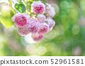 Rose rose garden rose garden 52961581