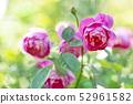 Rose rose garden rose garden 52961582