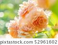Rose rose garden rose garden 52961602