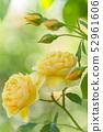 Rose rose garden rose garden 52961606