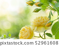Rose rose garden rose garden 52961608