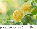 Rose rose garden rose garden 52961610