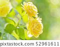 Rose rose garden rose garden 52961611