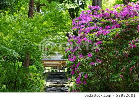 5 월 가마쿠라 726 浄智寺 総門의 철쭉 52982081