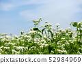 꽃 피는 메밀 밭 52984969