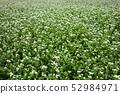 꽃 피는 메밀 밭 52984971