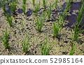 부평초가 펼쳐지는 논 52985164