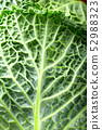 leaf of savoy cabbage close up 52988323