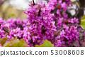 Close up of flowering Judas tree 53008608