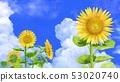 여름 하늘과 해바라기 그림 소재 53020740