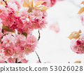 Beautiful cherry blossom sakura in spring time on nature background 53026028