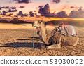 dromedary in the desert 53030092