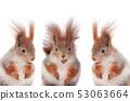 three squirrels eating hazelnuts 53063664