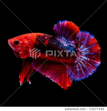 Betta fish  red hellboy in the aquarium  53077488