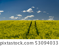 Flowering field of bright yellow rapeseed or colza 53094033