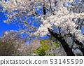 아스카 야마 공원의 벚꽃 10 53145599