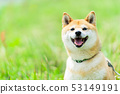 Shiba Inu dogs on green background Domestic dogs Japanese dogs General dogs Walk Play 53149191