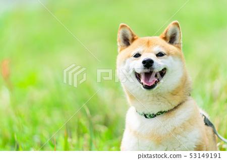 Shiba Inu狗在綠色背景國內狗日本狗一般狗步行戲劇 53149191