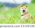 녹색 배경에 시바 애완견 일본 견 일반적인 강아지 산책 놀이 53149196