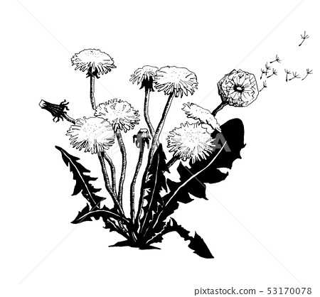 Vector Hand drawn sketch of dandelion flower illustration on white background 53170078