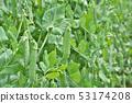 Pea (bean field) 53174208