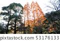 메타세쿼이아 단풍 53176133