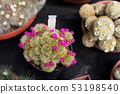 Beautiful colorful blooming cactus flower plants 53198540