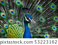 Foreground portrait blue male peacock 53223162