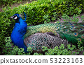Blue male peacock in a Park 53223163