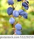 Heiraginanten的果實 53229256