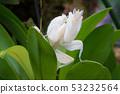 Orchid mantis, Hymenopus coronatus 53232564