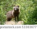 สุนัขแรคคูนหน้าร้อน 53363677