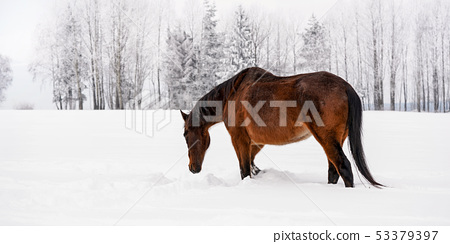 Dark brown horse walks on snow covered field in winter, blurred trees in background, view from side 53379397