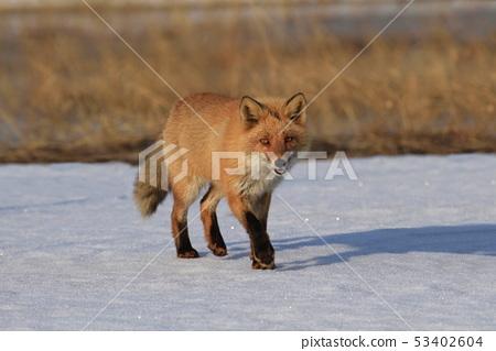 Kita fox 53402604