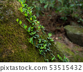 Ivy growing on a rock 53515432