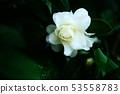 开花在雨中的白色玫瑰花 53558783