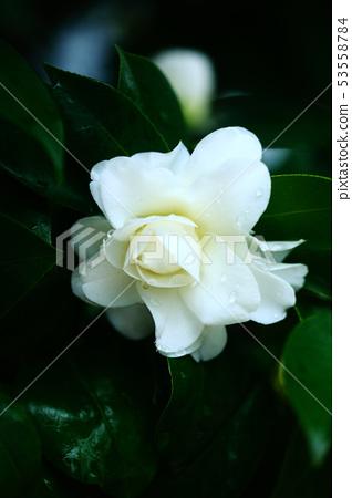 开花在雨中的白色玫瑰花 53558784