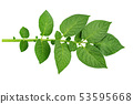 twig with green leaves of potatoes isolated on 53595668
